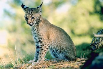 Texas Couple Share Their Home With Two Bobcats Kuql Oldies